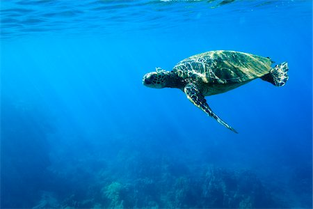Underwater View of Green Sea Turtle, Maui, Hawaii, USA Stock Photo - Premium Royalty-Free, Code: 600-03849491