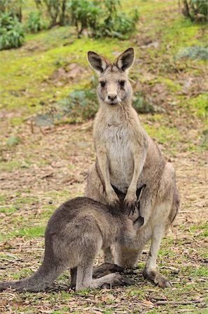 Eastern Grey Kangaroos, Tasmania, Australia Stock Photo - Premium Royalty-Free, Code: 600-03907278