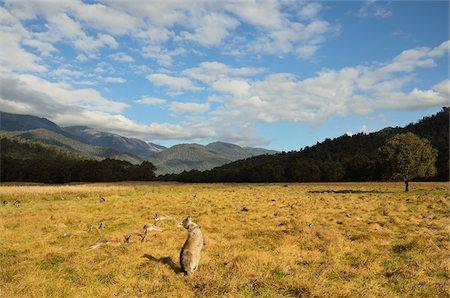 Eastern Grey Kangaroos, Geehi, Kosciuszko National Park, New South Wales, Australia Stock Photo - Premium Royalty-Free, Code: 600-03907306