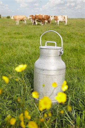 Milk Can and Cows in Field, Havneby, Syddanmark, Denmark Stock Photo - Premium Royalty-Free, Code: 600-03907441
