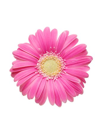 petal - Pink Gerbera Daisy Stock Photo - Premium Royalty-Free, Code: 600-03907482