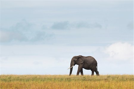 African Elephant, Masai Mara National Reserve, Kenya Stock Photo - Premium Royalty-Free, Code: 600-03907654