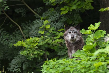 predator - Timber Wolf in Game Reserve, Bavaria, Germany Stock Photo - Premium Royalty-Free, Code: 600-03907681