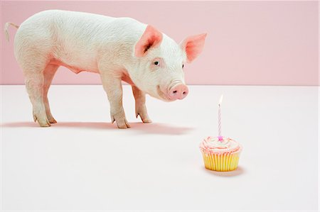 Piglet looking at birthday cake in studio Stock Photo - Premium Royalty-Free, Code: 614-05556911