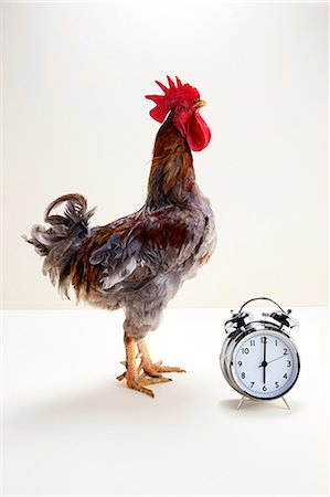 remembered - Rooster standing near alarm clock, studio shot Stock Photo - Premium Royalty-Free, Code: 614-05556968