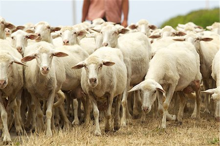 Flock of sheep in Sardinia Stock Photo - Premium Royalty-Free, Code: 614-05792229