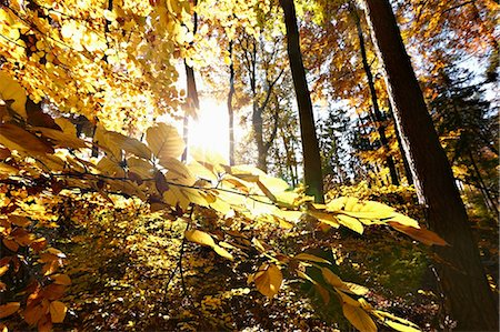 Sunlight through autumn leaves of beech forest Stock Photo - Premium Royalty-Free, Code: 614-05792494