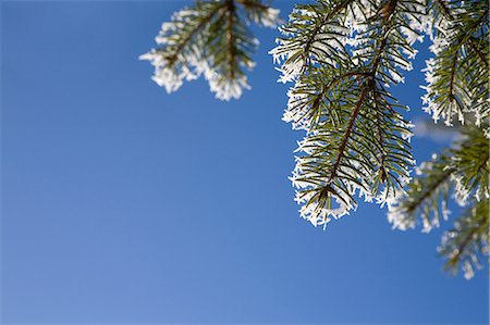 festive - Close up of pine needles with hoar frost Stock Photo - Premium Royalty-Free, Code: 614-05955394
