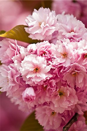 floral - Pink cherry blossom Stock Photo - Premium Royalty-Free, Code: 614-05955518