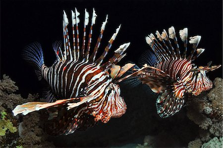 Two Lionfish in the Red Sea, Egypt Stock Photo - Premium Royalty-Free, Code: 614-06002165