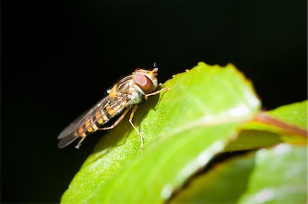Hoverfly on a leaf Stock Photo - Premium Royalty-Free, Code: 614-06002170