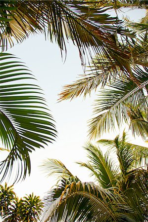 palm - Palm trees, low angle Stock Photo - Premium Royalty-Free, Code: 614-06002512