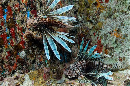 predator - Lionfish in Unnatural Habitat Stock Photo - Premium Royalty-Free, Code: 614-06044217