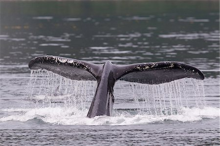 Tail of Humpback Whale Stock Photo - Premium Royalty-Free, Code: 614-06044273
