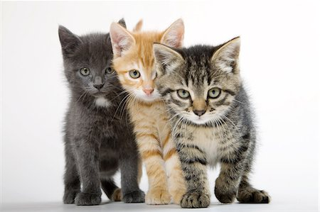 Three kittens side by side Stock Photo - Premium Royalty-Free, Code: 614-06043354