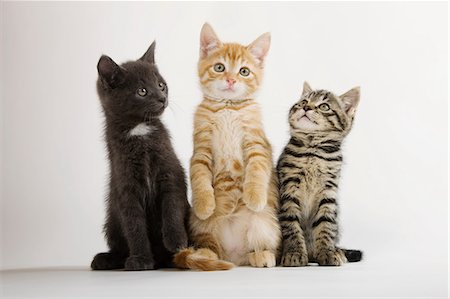 pictures cats - Three kittens sitting up Stock Photo - Premium Royalty-Free, Code: 614-06043355