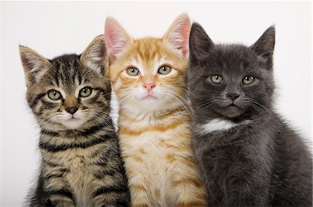Three kittens side by side Stock Photo - Premium Royalty-Free, Code: 614-06043350