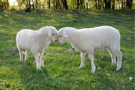 domestic sheep - Two lambs face to face Stock Photo - Premium Royalty-Free, Code: 614-06043365