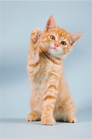 Ginger kitten waving Stock Photo - Premium Royalty-Free, Code: 614-06043367