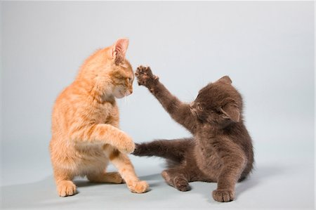 pet - Two cats play fighting Stock Photo - Premium Royalty-Free, Code: 614-06043389