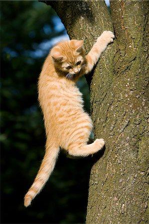 Ginger cat gripping tree Stock Photo - Premium Royalty-Free, Code: 614-06043380