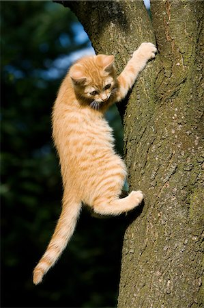 Ginger cat gripping tree Stock Photo - Premium Royalty-Free, Code: 614-06043380