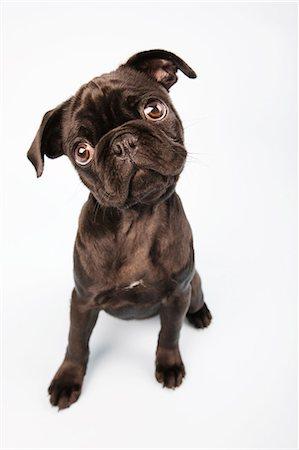 pvg - Pug dog sitting down, portrait Stock Photo - Premium Royalty-Free, Code: 614-06043401