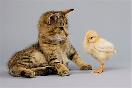 fluffy - Kitten and chick Stock Photo - Premium Royalty-Free, Code: 614-06043416