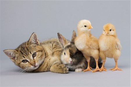 Kitten, rabbit and chicks Stock Photo - Premium Royalty-Free, Code: 614-06043413