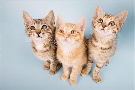 Three cats looking up Stock Photo - Premium Royalty-Free, Code: 614-06043428