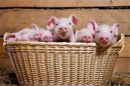 five animals - Five piglets in basket Stock Photo - Premium Royalty-Free, Code: 614-06043437