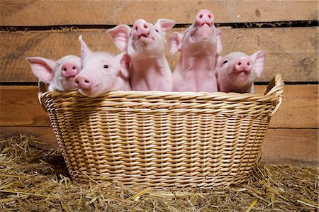 five animals - Five piglets in basket Stock Photo - Premium Royalty-Free, Code: 614-06043438