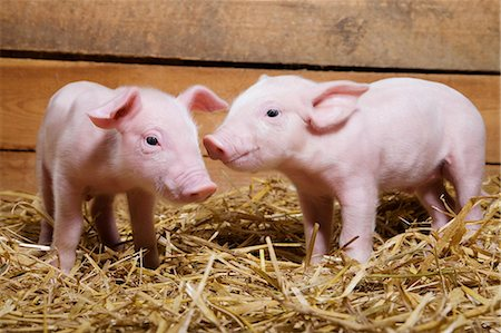Two piglets on straw Stock Photo - Premium Royalty-Free, Code: 614-06043430