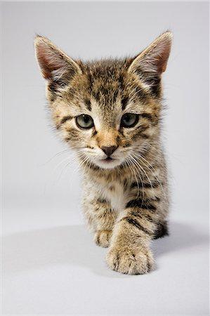 Cute kitten Stock Photo - Premium Royalty-Free, Code: 614-06043431
