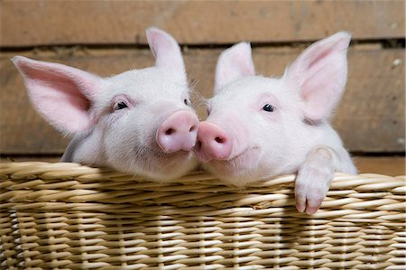 Two piglets in basket, close up Stock Photo - Premium Royalty-Free, Code: 614-06043445