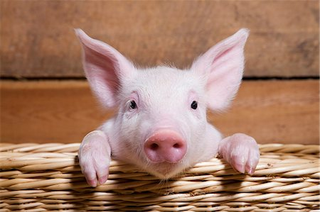 Piglet in basket, close up Stock Photo - Premium Royalty-Free, Code: 614-06043447