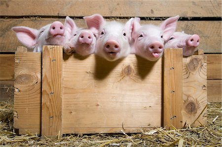 five animals - Five piglets in wooden crate Stock Photo - Premium Royalty-Free, Code: 614-06043441