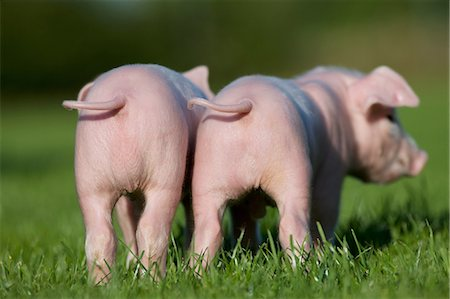 Two piglets, rear view Stock Photo - Premium Royalty-Free, Code: 614-06043456