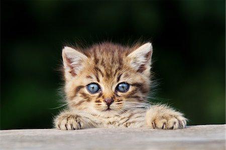 Kitten peeking over fence Stock Photo - Premium Royalty-Free, Code: 614-06043478