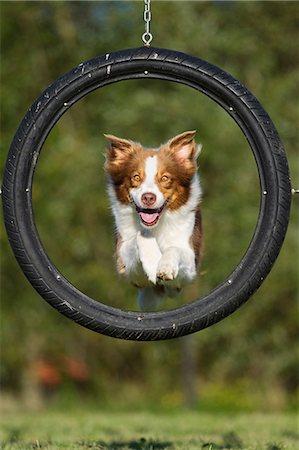 Dog jumping through tyre Stock Photo - Premium Royalty-Free, Code: 614-06043489