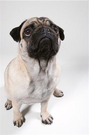 pvg - Pug dog, portrait Stock Photo - Premium Royalty-Free, Code: 614-06043507