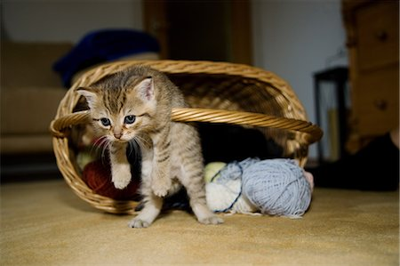 Kittens hanging on basket handle Stock Photo - Premium Royalty-Free, Code: 614-06043514