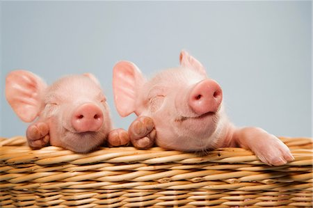 Two piglets in basket Stock Photo - Premium Royalty-Free, Code: 614-06043510