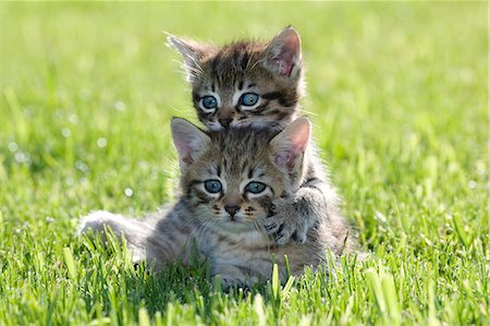 Two kittens on grass Stock Photo - Premium Royalty-Free, Code: 614-06043513