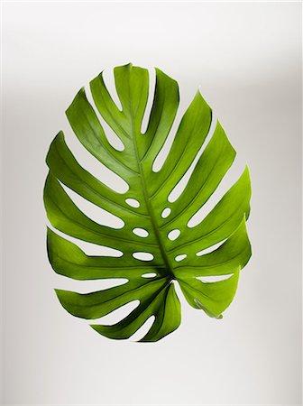 Single green leaf Stock Photo - Premium Royalty-Free, Code: 614-06043686