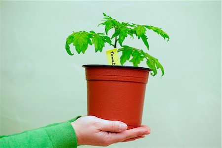 Person holding a tomato plant Stock Photo - Premium Royalty-Free, Code: 614-06116117