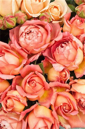rose - Peach coloured roses Stock Photo - Premium Royalty-Free, Code: 614-06169185