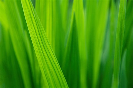 Close up of blades of grass Stock Photo - Premium Royalty-Free, Code: 614-06311888