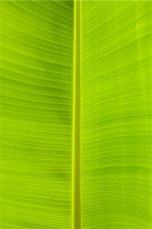 Close up of banana leaf Stock Photo - Premium Royalty-Free, Code: 614-06311890