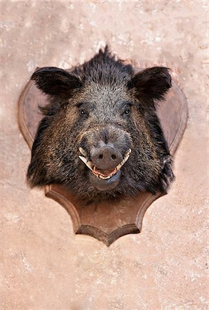 Boar's head trophy on a wall Stock Photo - Premium Royalty-Free, Code: 614-06312103